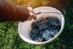 Męski viticulturist zbiera winogrona w gronowym jardzie Fotografia Stock