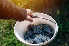 Męski viticulturist zbiera winogrona w gronowym jardzie Obraz Royalty Free