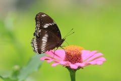 Męski Wielki Eggfly Hypolimnas motyli bolina Zdjęcia Stock