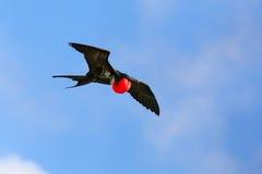 Męski Wielki Frigatebird latanie w niebieskim niebie, Galapagos obywatela Pa Obraz Stock