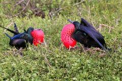Męski Wielki Frigatebirds na Genovesa wyspie, Galapagos obywatel P Zdjęcia Stock