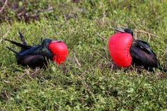 Męski Wielki Frigatebirds na Genovesa wyspie, Galapagos obywatel P Obrazy Stock