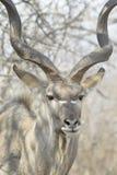 Męski wielki kudu portret Fotografia Royalty Free
