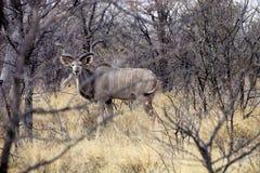 męski Wielki kudu, Tragelaphus strepsiceros w Etosha parku narodowym, Namibia Fotografia Royalty Free
