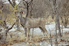męski Wielki kudu, Tragelaphus strepsiceros w Etosha parku narodowym, Namibia Obrazy Stock