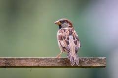 Męski wróbel przy ptaka domem w ogródzie Zdjęcia Royalty Free