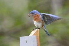 Męski Wschodni Bluebird z Sider w swój belfrze Zdjęcie Stock
