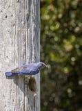 Męski Zachodni Bluebird Zdjęcia Stock