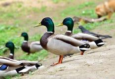 Męskie dzikie kaczki zostaje na ziemi Zdjęcia Stock