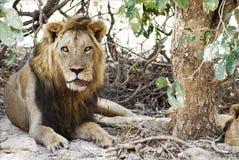 Męskiego lwa zdradzeni drzewa Fotografia Stock