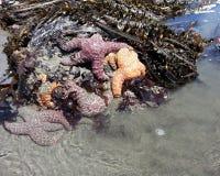 M. Starfish Soaking Up Sun à la piscine photos libres de droits