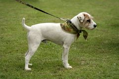 M. Terrier Royalty-vrije Stock Afbeeldingen