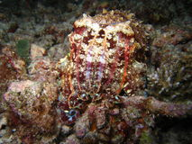 mątwy ryba Fotografia Royalty Free