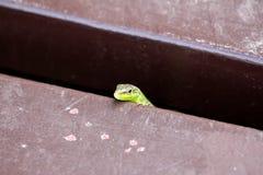 Mała Śródziemnomorska zielona jaszczurka ciekawie szturcha swój głowę nad obdrapaną drewnianą deską fotografia royalty free