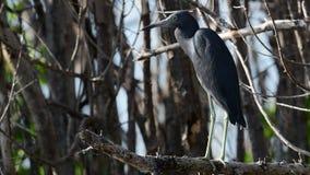 Małego błękita czapli Egretta caerulea na gałąź suchy drzewo, Kuba zdjęcie wideo