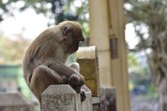 Małpa gestykuluje w Chiang Raja, Tajlandia zdjęcie stock