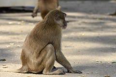 Małpa gestykuluje w Chiang Raja, Tajlandia obraz royalty free