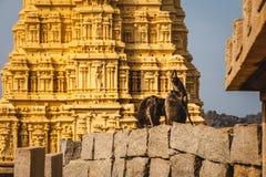Małpy grupują w Virupaksha świątyni w hampi karnakata obraz royalty free