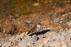 Mały ptak w Rio Putana dolinie w średniogórzach Atacama pustynia wzdłuż drogi El Tatio gejzery, Chile obrazy royalty free