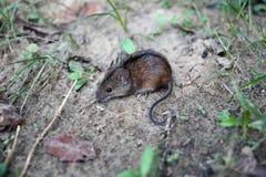 MaÅ-'ein wystraszona mysz polna pozuje tun zdjÄ™cia Apodemus agrarius lizenzfreie stockfotografie