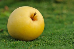 Maçã amarela na grama verde ao ar livre Imagem de Stock