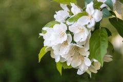 A maçã branca floresce no close up do ramo com fundo verde Imagem de Stock