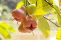 Maçã cor-de-rosa vermelha, fruto de Bell Imagens de Stock Royalty Free