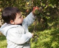 Maçã da colheita da criança Fotografia de Stock
