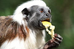 Maçã de alimentação do macaco Fotos de Stock Royalty Free
