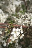Maçã de cereja de florescência, pêssego em um ramo fotos de stock royalty free