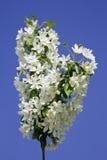 Maçã de florescência Foto de Stock
