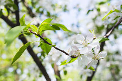 Maçã de florescência do ramo Fotografia de Stock