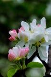 Maçã de florescência Jardim da mola Fotos de Stock