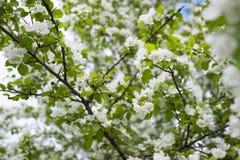 Maçã de florescência na mola Imagens de Stock Royalty Free