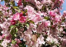 Maçã de florescência na mola Fotografia de Stock