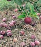 Maçã de Macintosh na árvore Fotografia de Stock Royalty Free