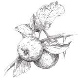 Maçã do desenho da mão no ramo Imagem de Stock
