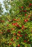 maçã do fruto Imagem de Stock