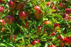 maçã do fruto Foto de Stock