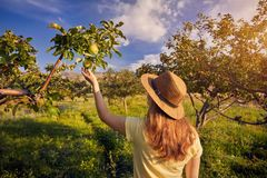 Maçã piking da mulher no jardim fotografia de stock royalty free