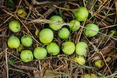 Maçã verde selvagem na grama secada Imagens de Stock Royalty Free