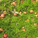 Maçãs caídas na grama Fotos de Stock