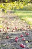 Maçãs caídas sob uma árvore de maçã imagem de stock royalty free