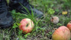 Maçãs caídas verdes na terra em um jardim ao lado dos pés humanos, close up fotografia de stock