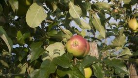 Maçãs coloridas na árvore fotografia de stock royalty free