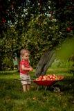 Maçãs da colheita da criança em uma exploração agrícola Rapaz pequeno que joga no pomar da árvore de maçã Caçoe o fruto da picare imagens de stock royalty free