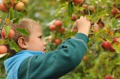 Maçãs da colheita da criança pequena Foto de Stock