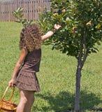 Maçãs da colheita da menina Fotografia de Stock
