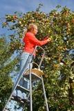 Maçãs da colheita da mulher Fotografia de Stock