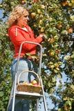 Maçãs da colheita da mulher fotos de stock royalty free